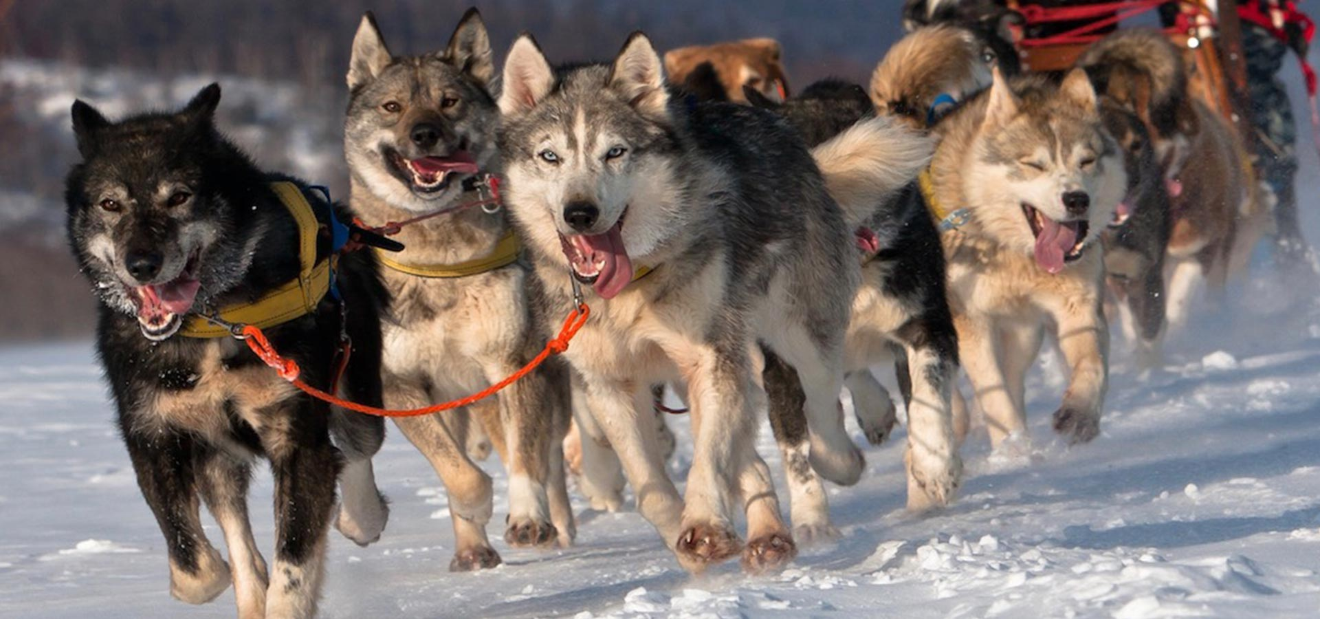 Alps dog sledding