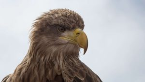 Golden Eagle French Alps Wildlife