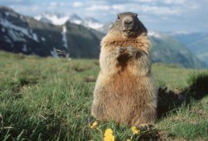 Marmots French Alps Wildlife