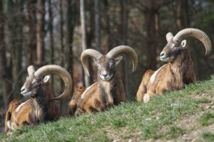 Mouflon French Alps Wildlife
