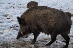 Wild Boar French Alps